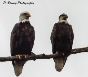 Bald Eagle couple brightened up a cloudy, dreary day