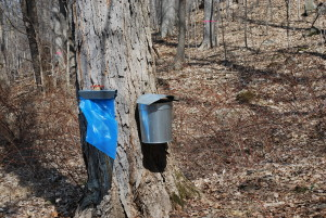 Maple Open House to be held at  Bowdoin Park March 5th