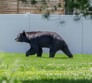A bear walking through the neighborhoods yesterday afternoon on North Farm Road to Ten Mile River Road in Dover.