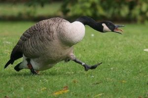 DEC Announces Opening of September Canada Goose Hunting Seasons