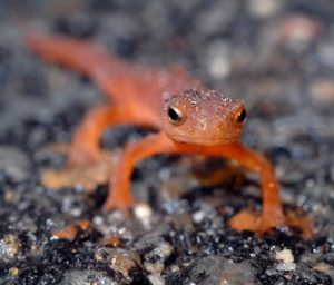 DEC Announces Start of Annual Salamander and Frog Migration