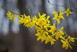 The Art and Science of Pruning Spring-Flowering Shrubs