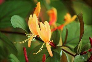 Be-a-Better-Gardener – Native ShrubsforSummer Bloom