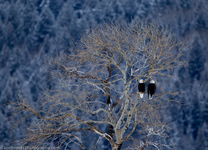 Draft Conservation Plan for Bald Eagles in New York State