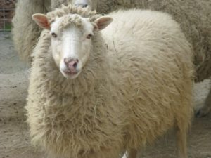 Chatham woman arrested for stealing a sheep skin and cheese