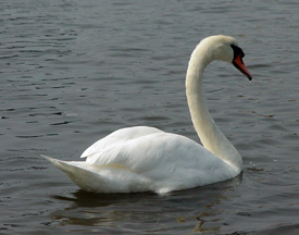 DEC Releases Revised Mute Swan Management Plan for Public Comment