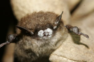 In New York and now 24 other states bats are dying in droves