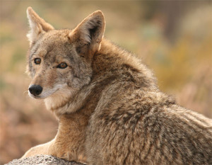 DEC Issues Annual Guidance to Avoid Conflicts with Coyotes
