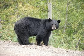 DEC Announces Early Bear Hunting Seasons Open Soon