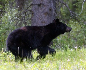 Warmer Spring Weather Is Here, Which Means New York's Black Bears Are on the Move