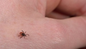 Powassan Virus: Rare And Deadly Tick Disease Hits The United States