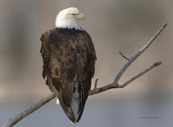 New York State Bald Eagle Conservation Plan Completed
