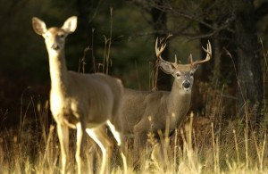 DEC Announces New York's 11th Year with No New Cases  of Chronic Wasting Disease