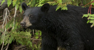 Early Bear Hunting Seasons Open