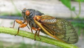 Billions of cicadas will descend upon the Northeast