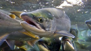 DEC to Host 8th Annual Great Hudson River Fish Count on August 10