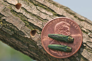 NY State Expands Emerald Ash Borer Quarantine to Dutchess