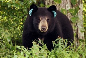 Connecticut's DEEP has seen a recent increase in the number of reported bear attacks on livestock and bee hives