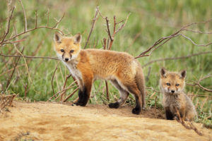 "Wild ""Orphans:"" To Rescue or Not? If You Care, Leave It There"
