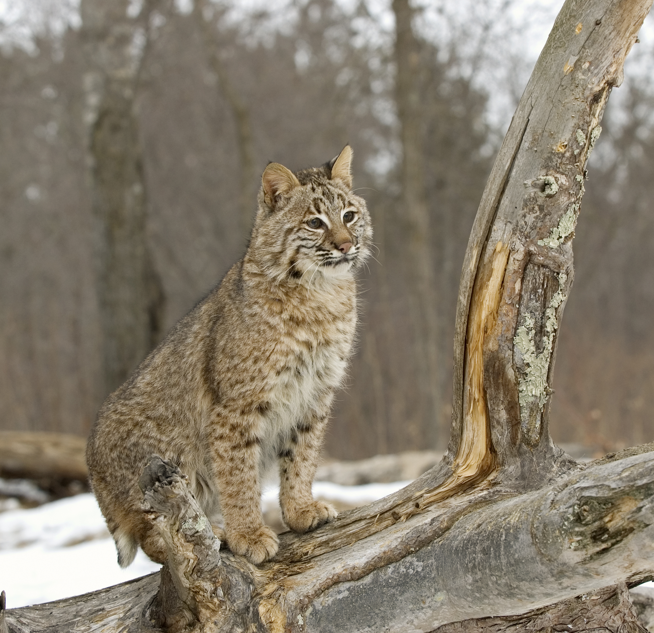 Dec Revising Permit Requirement For Bobcat Hunting And