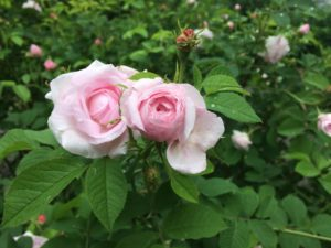 Be-A-Better Gardner – Rose Rustling