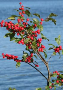 Be a Better Gardener, Winterberries for Winter Color