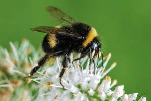 Be a Better Gardener, Bumblebees – the Harbingers of Spring