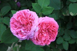 Be-a-Better-Gardener, Pass-Along Plants