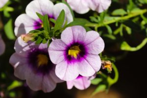 Be-a-Better-Gardener, Mid-Summer Care for Annuals