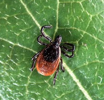 Lyme and tick-borne diseases: 2019 update at the Pawling Library, Presented by Dr. Kenneth B. Liegner