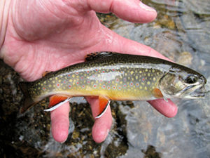 "DEC Discovers Brook Trout in Previously ""Fishless"" Adirondack Lake Impacted by Acid Rain"