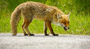 Fox Positive for Rabies – Town of Dover