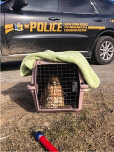 Injured Hawk Gets a Helping Hand – Putnam County