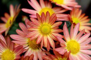 Be-a-Better-Gardener, Chrysanthemums for Keeps